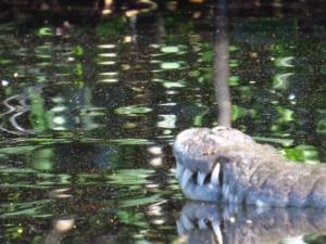 Gators and Crocs in their natural habitat